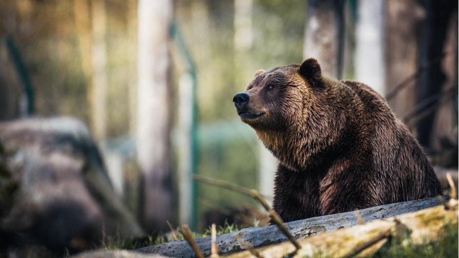 lācis mežā