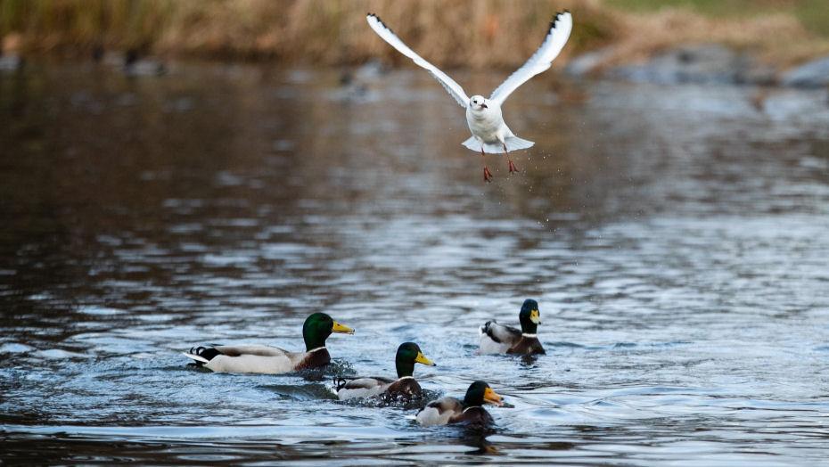 putnu vērošana Latvijā